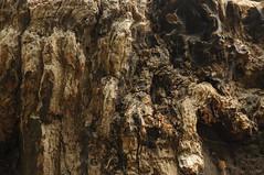 Verwitterter Baumstumpf; Usedom b (90) (Chironius) Tags: usedom mecklenburgvorpommern meklemburgiapomorze uznam deutschland germany allemagne alemania germania    ogie pomie niemcy pomienie holz wood legno madera bois hout