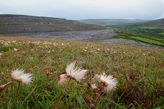 Flora of the Burren 3 (Michael Foley Photography) Tags: county ireland plants ice flora mediterranean clare glacier alpine age limestone burren clints artic climate coclare galwaybay temperate grikes grykes