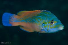 DSC_4346 (bajo_el_mar) Tags: pez underwater asturias lastres 2016 fotosub gallano labrido labrusbimaculatus cantbrico