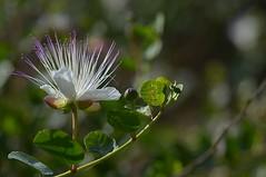 cappero che fiore (robra shotography []O]) Tags: flower closeup bloom bud fiore caper cappero sooc