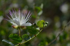 (robra shotography []O]) Tags: flower closeup bloom bud fiore caper cappero sooc