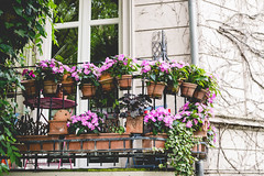 Details of the neighbourhood (neus_oliver) Tags: pink flowers house window germany outside outdoors terrace balcony decoration mnster flowerpots kreuzviertel