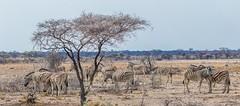 PGC_4832-20150923 (C&P_Pics) Tags: panorama na zebra namibia scenes burchellszebra etoshanationalpark oshikoto namutonicamptohalalicamp