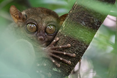 Tresier (Jimi Casaccia) Tags: nature animals eyes wildlife philippines bohol primate trasier