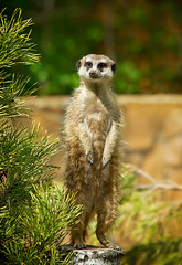 surikate (♥Oxygen♥) Tags: wild brown cute nature ecology face look animal rock standing mouth hair fur mammal outdoors zoo meerkat sitting wildlife small watch conservation lookout southern curious upright creature alert snout meercat carnivore watchful suricata ef70300mmf456isusm