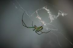 Orchard Orbweaver (Leucauge venusta) (marknenadov) Tags: spiders webs orbweavers