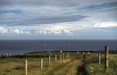 Cows & Clouds, Alderney (neilalderney123) Tags: clouds fence landscape island cows path olympus alderney 2016neilhoward