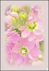 Pink Stocks. (Kath Williams(Thanks for the Faves)) Tags: pink nature petals stocks