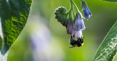 Bee & Comfrey-6960 Explored (WendyCoops224) Tags: canon eos bee explore comfrey 70d explored 100400mml localbirdswildlife ©wendycooperspringwatch