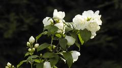 A rainy day (Yasmine Hens) Tags: flower rain nikon europa flickr belgium ngc pluie p900 rainy coolpix blanc namur hens yasmine wallonie iamflickr flickrunitedaward hensyasmine