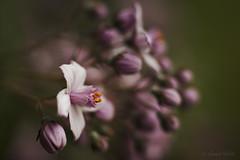 Crme Framboise (shawnraisin d+p) Tags: pink plant flower macro floral garden mood colours bokeh extensiontube enchanting sumptuous shawnwhite canon6d