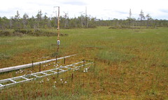 """Plot 1, Replica 1. Each """"installation line"""" marked by a stick and four replicate bags in each line are tied to the stick. They shown in the picture (before being placed in the soil). (Yugra State University) Tags: decomposition greentea carboncycle raisedbog massloss mukhrinofieldstation roiboostea teabagindex teacomposition standardisedplantlitter"""