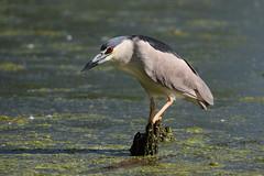 Black-Crowned Night-Heron  Perched On A Stump In The Lagoon (fethers1) Tags: coloradowildlife belmarparklake belmarpark bird shorebird blackcrownednightheron coth5