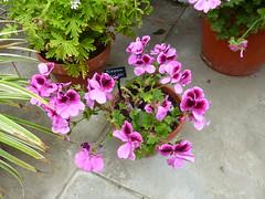 Pellargonium    P1020923 (LesD's pics) Tags: flowers blossom blooms geranium pellargonium