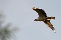DSC_0700 (Ramiro Marquez) Tags: bird flying eagle hawk wildlife osprey fisheagle fishhawk seahawk riverhawk