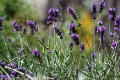 lavender (margycrane) Tags: flowers violet lavender lawenda