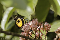 Delias albertisi albertisi (pirotake) Tags: insect butterfly butterflies papua nature pieridae delias