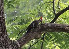 pileated woodpecker (garden beth) Tags: birds woodpeckers woodywoodpecker pileatedwoodpecker