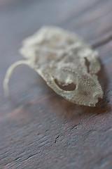 IMG_4490 (armadil) Tags: skin shed lizard shedding leopardgecko