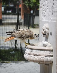 Christo drinks from the General Slocum memorial (Goggla) Tags: nyc new york manhattan east village tompkins square park urban wildlife bird raptor red tail hawk adult male christo molt molting general slocum disaster memorial drink water fountain goglog
