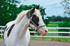 (onapaperplane) Tags: york blue horses horse sunlight 3 black oak eyes aqua paint day background ridge pa finch american quarter jumper hunter odie equestrian dover topper canter equine association atticus stables dressage eventing pennyslvania equines eventer apha