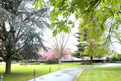 DSCN1825 (Rumskedi) Tags: flore cdre monde sakura cerisierjapon europe belgi belgique belgien ndda hanami cedrusatlantica ndda23042016