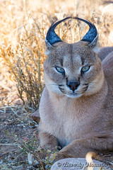010-Caracal_003 copy (Beverly Houwing) Tags: africa face cat feline namibia eartufts carcal