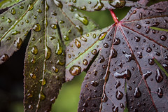 Wet Leaf Study 2 - July 2016 (GOR44Photographic@Gmail.com) Tags: macro wet leaves leaf drops acer hatfield fujifilm tamron xpro1 tamron3570mmf35 gor44 3570mmf35fd