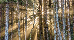 Sunshine Forest (PIERRE LECLERC PHOTO) Tags: oregon coast oregoncoast sun sunshine sunrays sunlight fog foggy trees forest woods outdoors landscape nature light pierreleclercphotography usa capeperpetua roadtrip