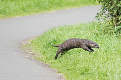 Diving for Cover (Philip McErlean) Tags: otter lutra dive lagan towpath meadows belfast northern ireland nikon d3200