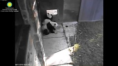 2016_08-11c (gkoo19681) Tags: beibei meixiang patientlywaiting hopeful ccncby nationalzoo