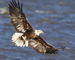 Young Adult (david.horst.7) Tags: bird raptor eagle americanbaldeagle flight wildlife