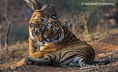 I Love You Mom! (WhiteEye2) Tags: india nature wildlife tiger safari tigers bigcats bengaltigers ranthamborenationalpark wwshowcase