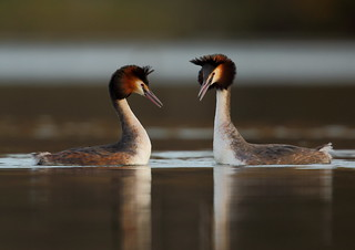 Great Crested Grebe's