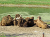 Bactrian Camels (1) (bookworm1225) Tags: zoo october 2014 minnesotazoo northerntrail tropicstrail