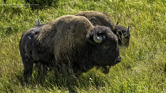 Yellowstone National Park Bison (Hawg Wild Photography) Tags: park nature wildlife national yellowstone bison terrygreen nikond3s