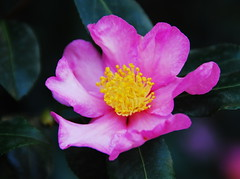 Camellia (petrk747) Tags: voyage park italy flower travelling rose garden flora wildrose lombardia doublefantasy cardanoalcampo saariysqualitypictures