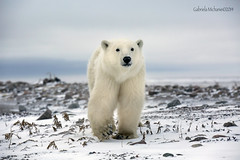 Baby Polar Bear (Gabriela Michanie Photography) Tags: bear trip travel winter baby canada cold animals bay photographer wildlife arctic adventure polarbear viajes invierno hudson polar artico hudsonbay osos