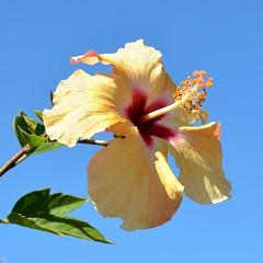 Yellow Hibiscus (Pat's Pics36) Tags: arizona unitedstates yellowflower hibiscus encore apachejunction thousandtrails againstthesky nikond7000 nikkor18to200mmvrlens countrysidervresort