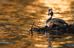 Great Crested Grebe (Emmog) Tags: lake water birds animals spring nest wildlife nesting greatcrestedgrebe