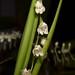 Odontoglossum egertonii – Merle Robboy