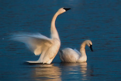 Swans at night (overthemoon3) Tags: nature birds spring swan wildlife mating migration
