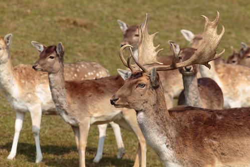 Flock of fallow deer