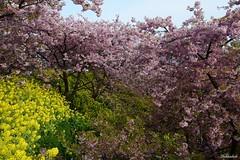 Splash of Spring.. (Shubhashish Chakrabarty) Tags: japan spring 桜 日本 nikkor 花 kanagawa 神奈川 春 花見 ピンク matsuda 桜祭り 黄色い kawazuzakura 松田町
