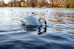 swan_1 (fidel_barto) Tags: water swan wasser schwan treptowerpark sonyslta58