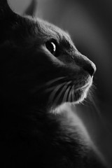 Panthro (andymudrak) Tags: shadow blackandwhite bw eye animal cat profile gray calm glint solemn