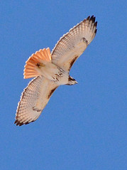 Red-tailed Hawk (Buteo jamaicensis) (mebeagan) Tags: bird nature birds animals outdoors flying wings hawk wildlife birding flight raptor soaring redtailed predator