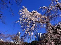 Cherry Blossoms (JapanThis) Tags: japan tokyo 日本 cherryblossoms 東京 edo hanami korakuen koishikawa 花見 江戸