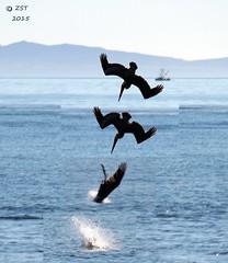A Dive (zeesstof) Tags: beach birds pelican fieldtrip brownpelican centralcaliforniacoast pelecanusoccidentalis coastalbirds gaviotabeach fieldexcursion zeesstof