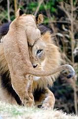 IMG_2954.jpg (Mark Dumont) Tags: african animals cat cincinnati cub dumont lion mammal mark zoo